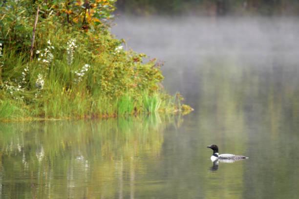 Common loon on a foggy morning at Reflections Lake, Alaska stock photo