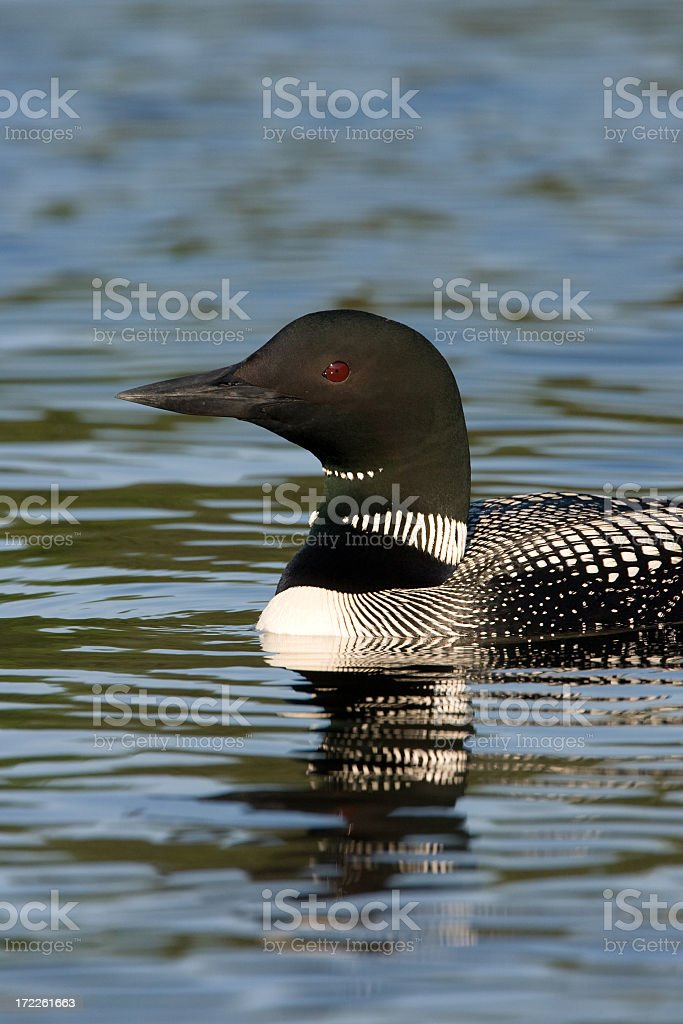 common Loon royalty-free stock photo