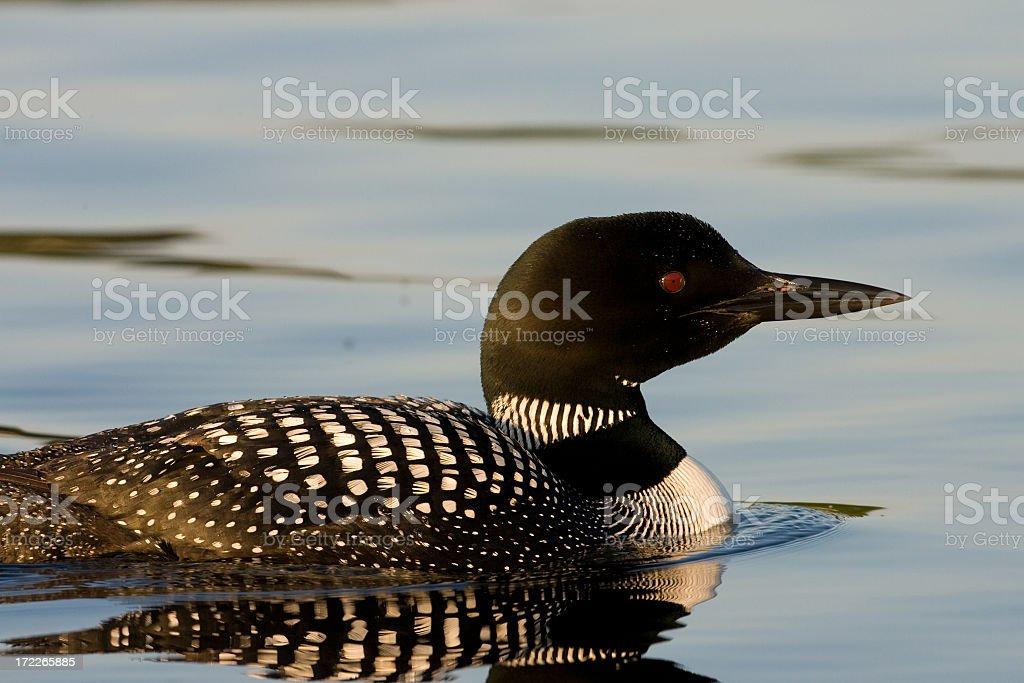 common Loon royalty-free stock photo