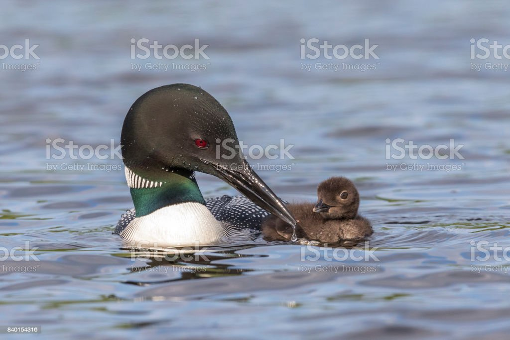 A Common Loon pulls its beak from the water as its chick looks on stock photo
