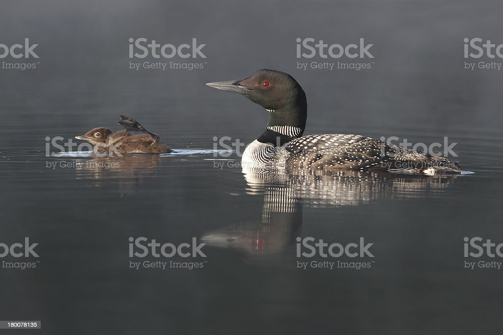 Common Loon Swimming with Young Chick stock photo
