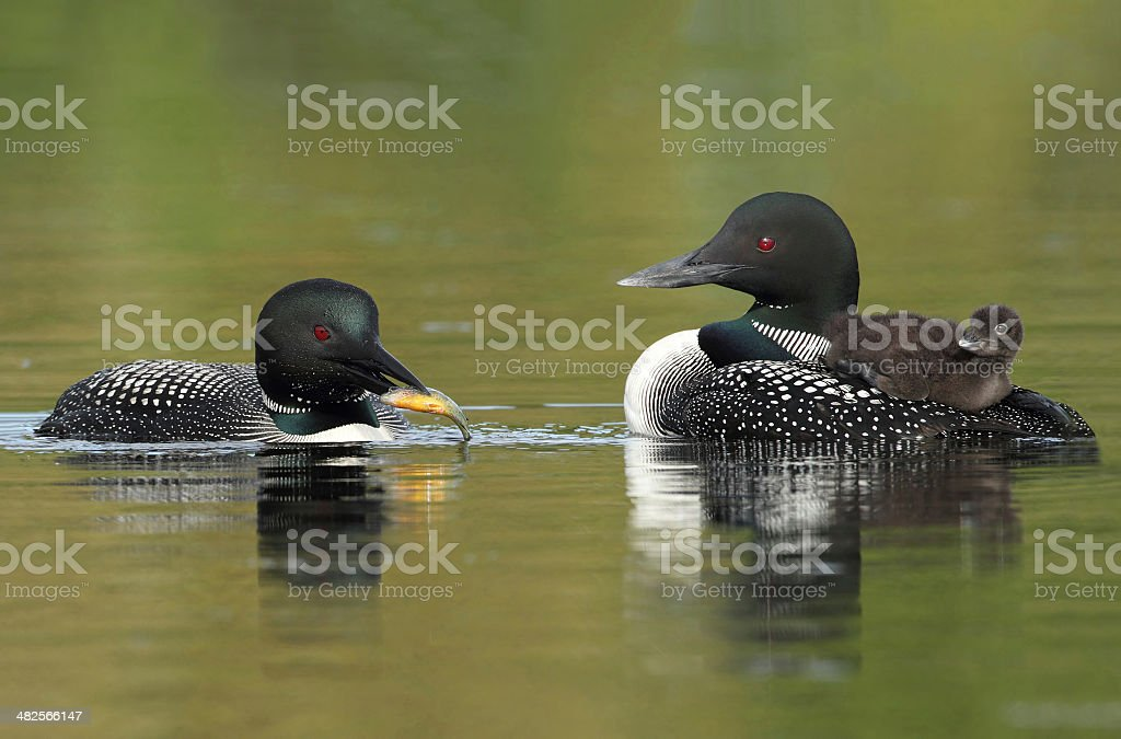 Common Loons - Family Breakfast Time stock photo