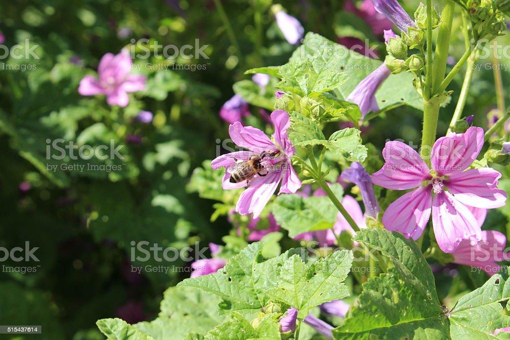 'Common Mallow' flowers - Malva Sylvestris stock photo