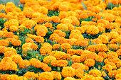 istock Common marigold, Calendula officinalis 1277332667