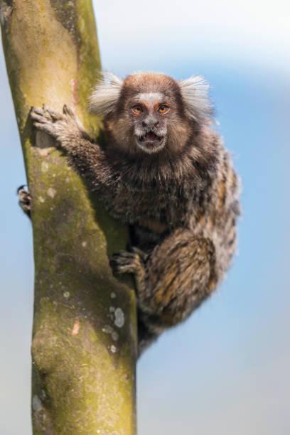Common Marmoset ape sitting on tree in Rio de Janeiro Brazil Ape called Common Marmoset ( Callithrix jacchus ) marmoset stock pictures, royalty-free photos & images
