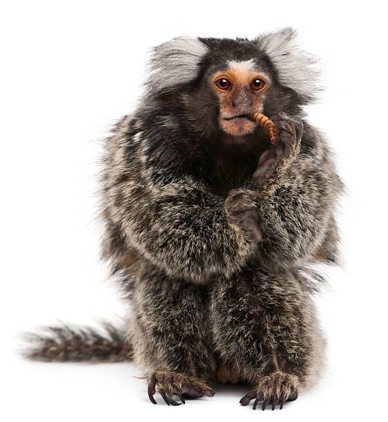 Common marmoset callithrix jacchus 2 years old eating worm picture id176224305?b=1&k=6&m=176224305&s=612x612&w=0&h=hy8j5u3h feex8mjkllefmnkh5al89u7 vxcuuofdf4=