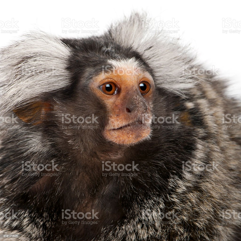 Common Marmoset, Callithrix jacchus, 2 years old, stock photo