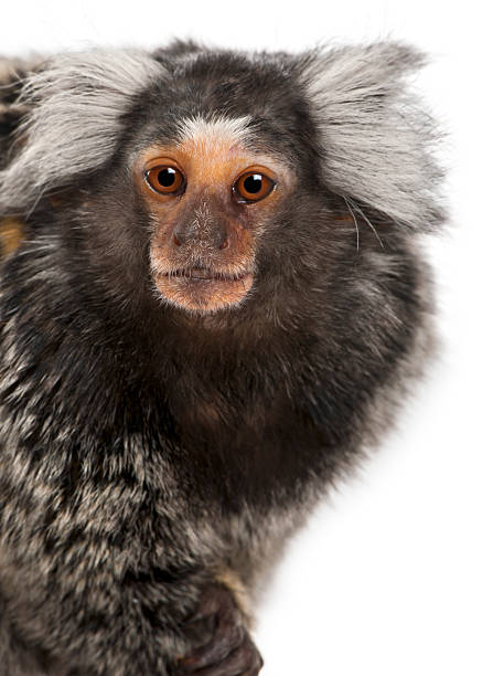 Common Marmoset, Callithrix jacchus, 2 years old, Common Marmoset, Callithrix jacchus, 2 years old, in front of white background common marmoset stock pictures, royalty-free photos & images
