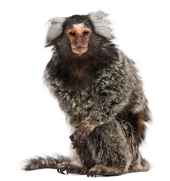 Common Marmoset, Callithrix jacchus, 2 years old, sitting, white background.  common marmoset stock pictures, royalty-free photos & images