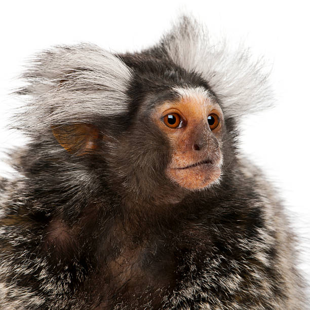 Common Marmoset, Callithrix jacchus, 2 years old, white background.  common marmoset stock pictures, royalty-free photos & images