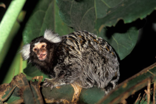 Common Marmoset, callithrix jacchus, Adult Common Marmoset, callithrix jacchus, Adult common marmoset stock pictures, royalty-free photos & images