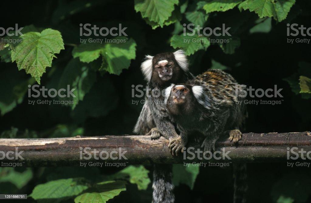 Common Marmoset, callithrix jacchus, Adults standing on Branch Common Marmoset, callithrix jacchus, Adults standing on Branch Animal Stock Photo