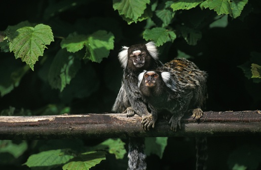 Common Marmoset Callithrix Jacchus Adults Standing On Branch Stock Photo - Download Image Now