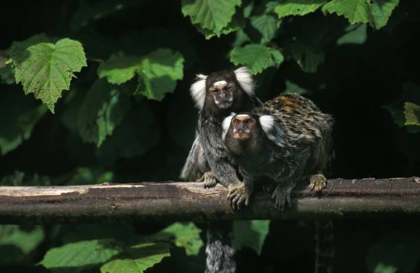 Common Marmoset, callithrix jacchus, Adults standing on Branch Common Marmoset, callithrix jacchus, Adults standing on Branch common marmoset stock pictures, royalty-free photos & images