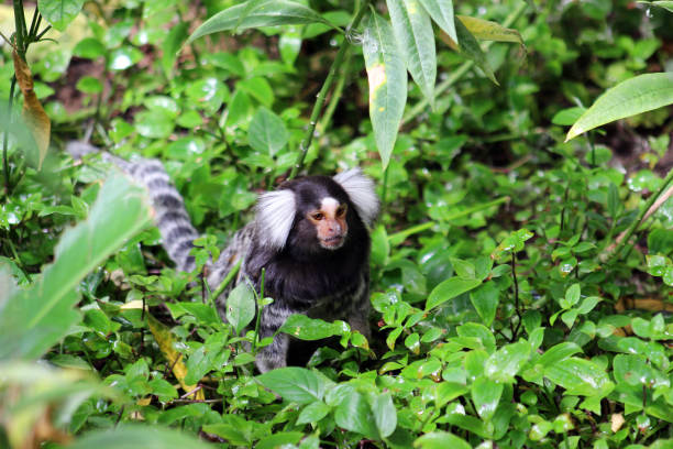 Common Marmoset, Callithrix jacchus foraging on the ground, Western Cape, South Africa stock photo