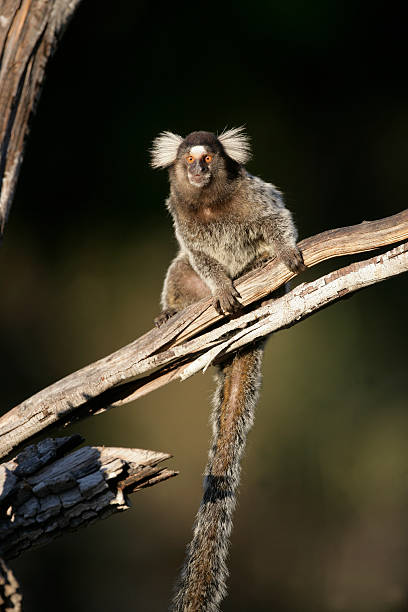 Common marmoset, Callithrix jacchus Common marmoset, Callithrix jacchus, single mammal on branch, Brazil common marmoset stock pictures, royalty-free photos & images