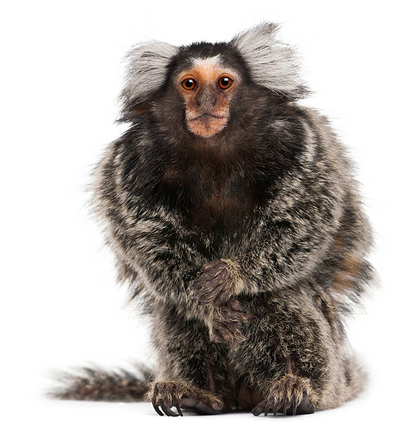 Common marmoset, Callithrix Jacchus, posed on white Common Marmoset, Callithrix jacchus, 2 years old, sitting in front of white background common marmoset stock pictures, royalty-free photos & images