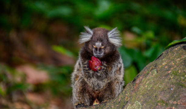 Common marmoset eating a grape a small monkey with white ear tufts eating a grape in the forest common marmoset stock pictures, royalty-free photos & images