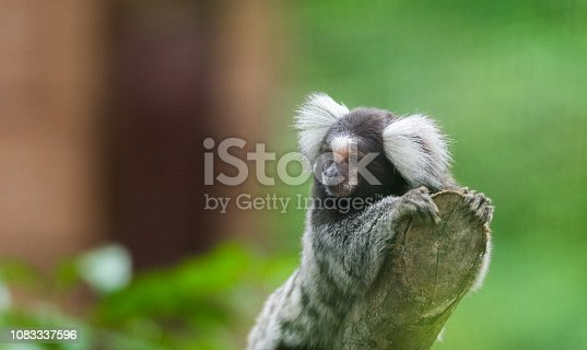 common marmoset (Callithrix jacchus) is a New World monkey, this one looking off at the end of a branch.