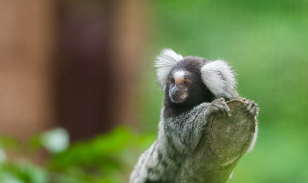 common marmoset (Callithrix jacchus) is a New World monkey, this one looking off at the end of a branch. common marmoset (Callithrix jacchus) is a New World monkey, this one looking off at the end of a branch. common marmoset stock pictures, royalty-free photos & images