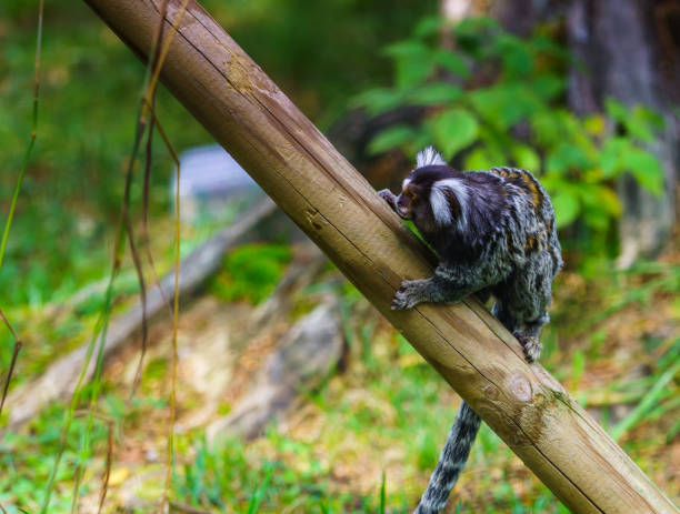 Common marmoset, lovely monkey very up close Common marmoset, lovely monkey very up close common marmoset stock pictures, royalty-free photos & images