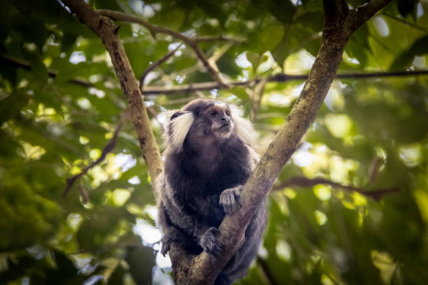 Common marmoset monkey at Urca Mountain trail - Rio de Janeiro, Brazil Common marmoset monkey at Urca Mountain trail - Rio de Janeiro, Brazil common marmoset stock pictures, royalty-free photos & images