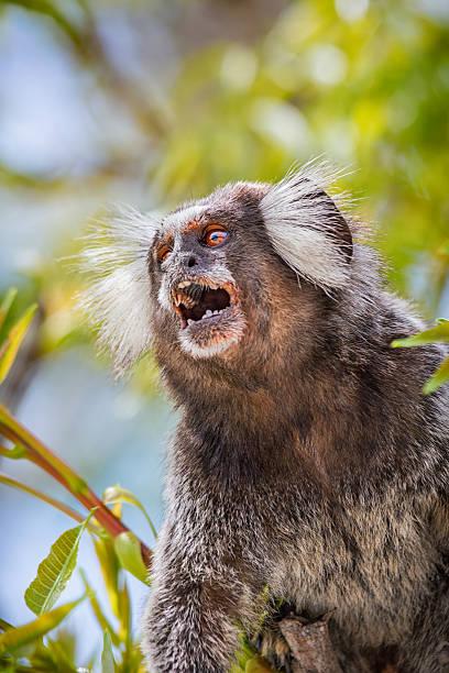 Common Marmoset Monkey Photo of a wild Common Marmoset  (Callithrix jacchus) Monkey in Rio de Janeiro, Brazil. common marmoset stock pictures, royalty-free photos & images