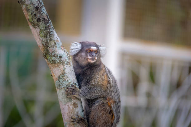 Common marmoset monkey - Rio de Janeiro, Brazil Common marmoset monkey - Rio de Janeiro, Brazil common marmoset stock pictures, royalty-free photos & images