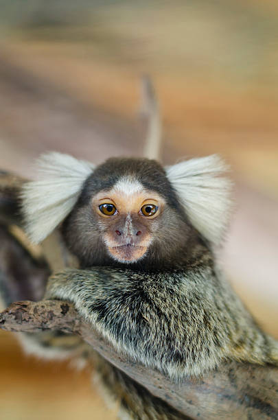 Common marmoset or White-eared marmoset (Callithrix jacchus); New World monkey. Common marmoset, Callithrix jacchus, single mammal on branch, Brazil marmoset stock pictures, royalty-free photos & images