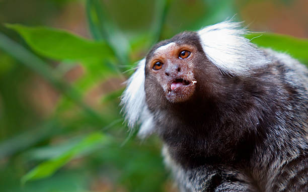 Common Marmoset  common marmoset stock pictures, royalty-free photos & images