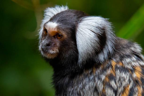 Common Marmoset Common Marmoset 'Callithrix Jacchus' common marmoset stock pictures, royalty-free photos & images