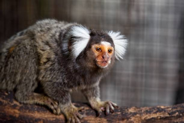 common marmoset common marmoset ( Callithrix jacchus ) on the tree branch common marmoset stock pictures, royalty-free photos & images