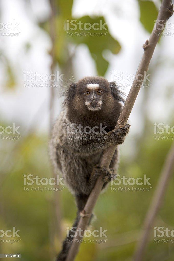 Common marmoset royalty-free stock photo
