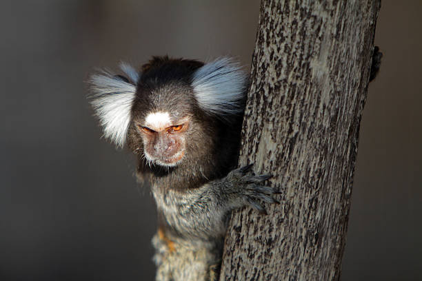 Common marmoset Common marmoset common marmoset stock pictures, royalty-free photos & images