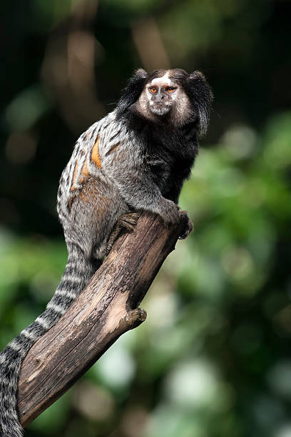 common marmoset common marmoset in a tree common marmoset stock pictures, royalty-free photos & images