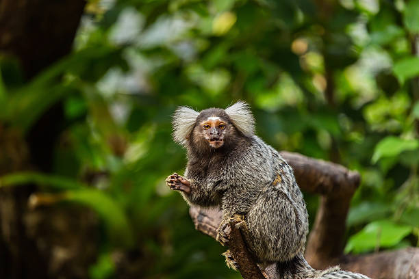 Common marmoset. Common marmoset. marmoset stock pictures, royalty-free photos & images