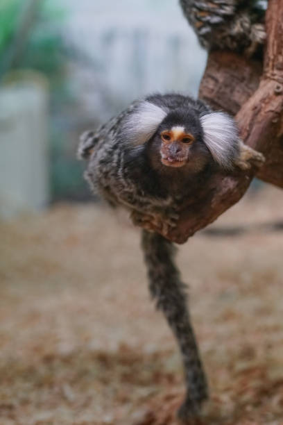 Common marmoset (Callithrix jacchus) playing on a wood branch Common marmoset (Callithrix jacchus) playing on a wood branch common marmoset stock pictures, royalty-free photos & images