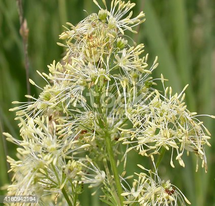 Tall, almost hairless perennial, with a far-creeping rhizomatous stock. Leaves 2-3-pinnate, leaflets oblong wedged shaped, 3-4 lobed. Flowers yellow, in dense oblong panicles, stamens erect. Achenes round, 6-ribbed. Habitat: Wet grassy habitats, meadows, fens and marshes, river and stream margins, on base-rich or calcareous soils, generally at low attitudes. Flowering Season: Throughout Europe, except the Faeroes, Iceland and Spitsbergen.  This is a common Species in Reed Beds in the Netherlands.