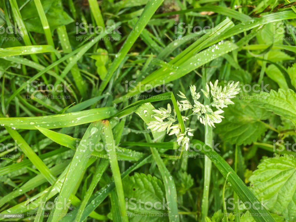Common meadow-grass or Kentucky bluegrass royalty-free stock photo