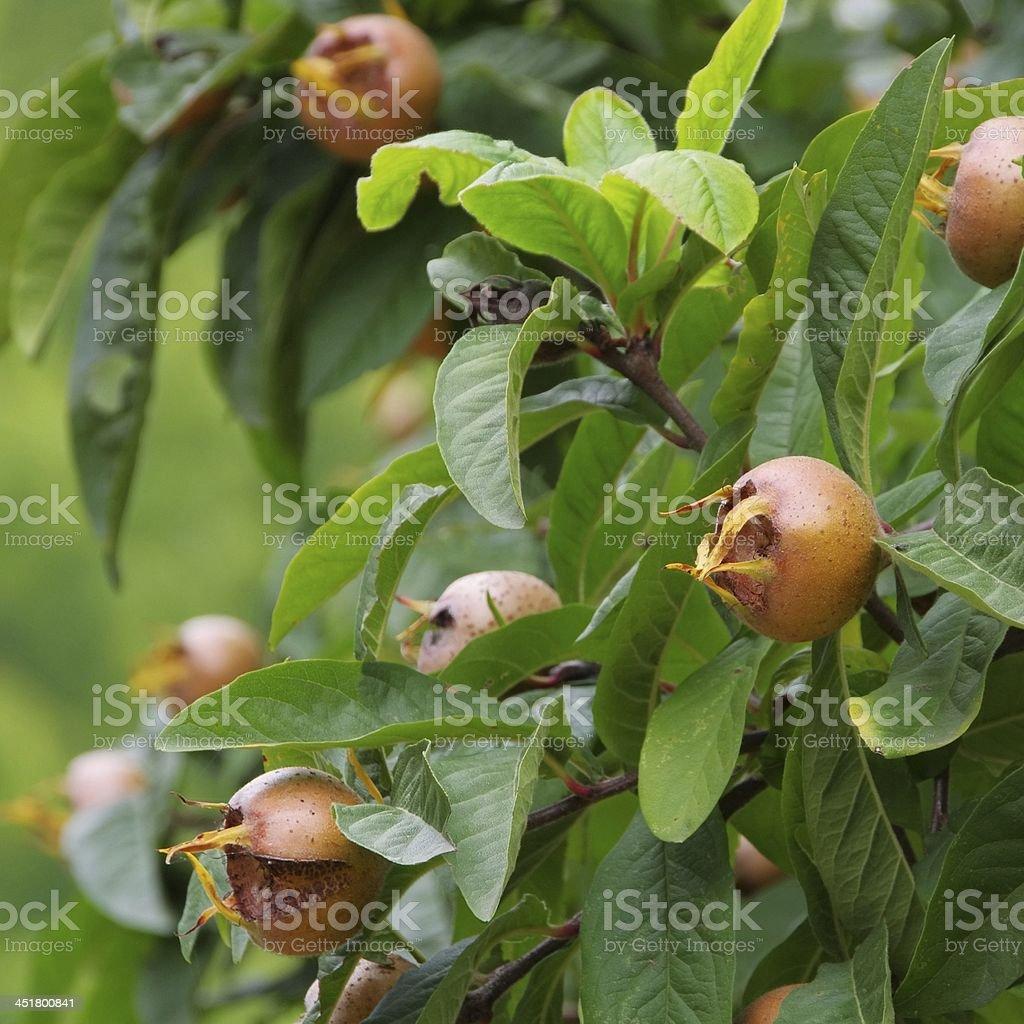 common medlar on tree stock photo