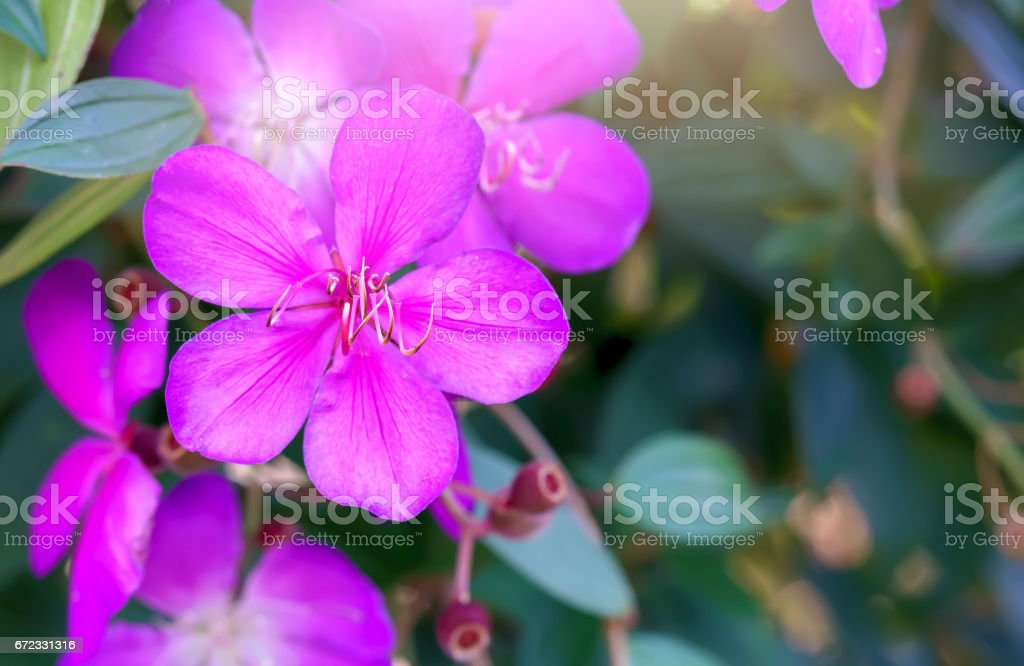 Common Melastoma flower beautiful purple springtime stock photo