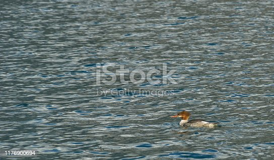 Common Merganser in the breathtakingly beautiful scenery of Lake Minnewanka in the famous Banff National Park found in Alberta, Canada.