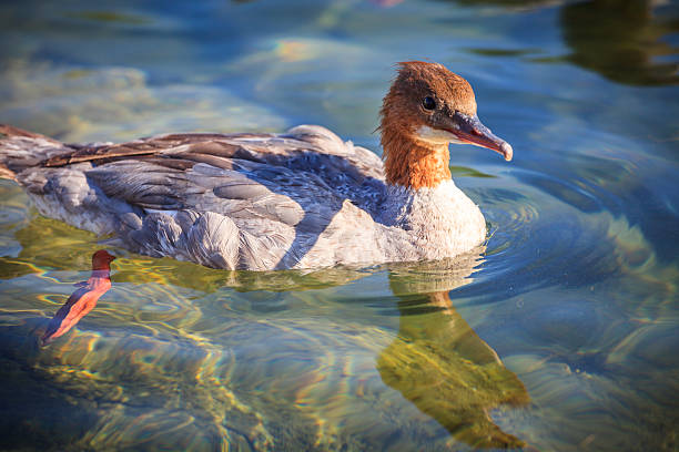 Common Merganser in water - foto de stock