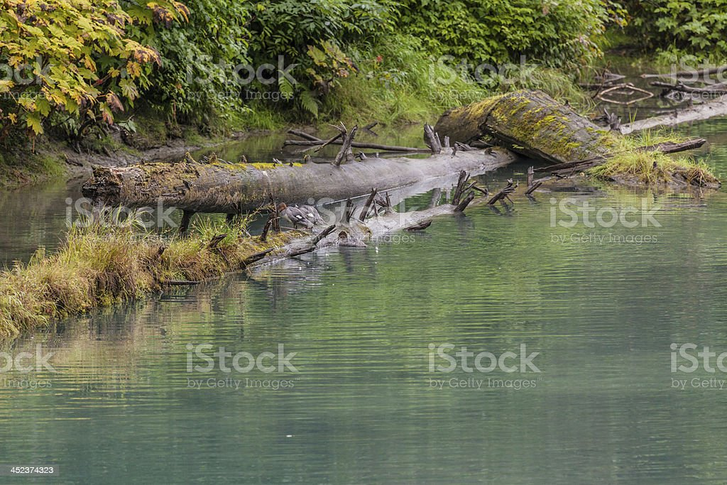 Common Mergansers getting onto log in the lagoon stock photo