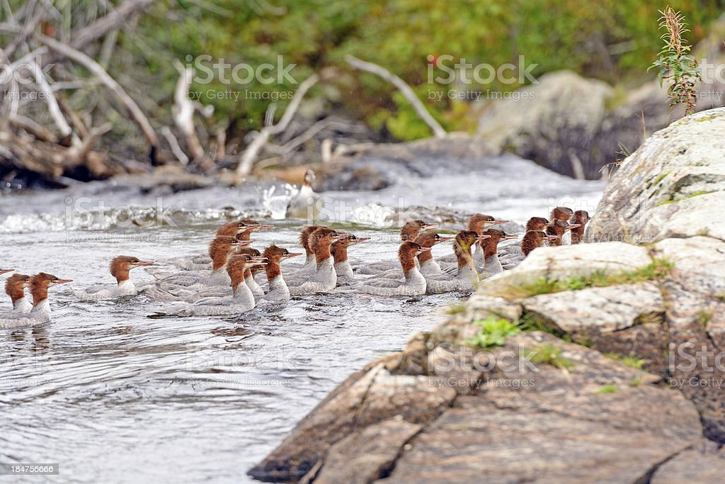 Common Mergansers swimming on a Wilderness River stock photo