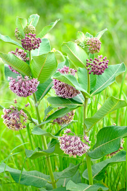 common milkweed, Asclepias syriaca stock photo