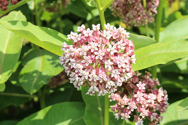 Common Milkweed flowers - Asclepias Syriaca stock photo