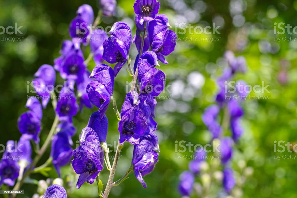 Common Monkshood or Aconitum napellus - Photo