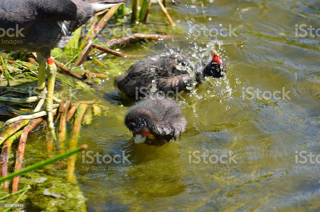 Common Moorhen Chicks Bathing stock photo