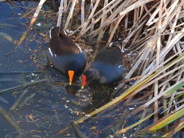 Common moorhen, common gallinule, getting a drink stock photo